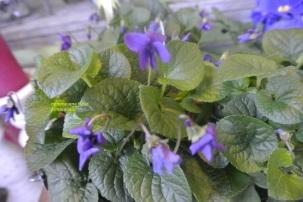 Pot de Violettes 15€