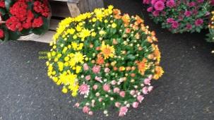 Coupe de Chrysanthèmes 15€