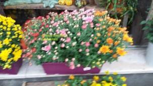 Jardinière Chrysanthème 15€