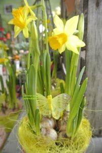 Narcisses 10€